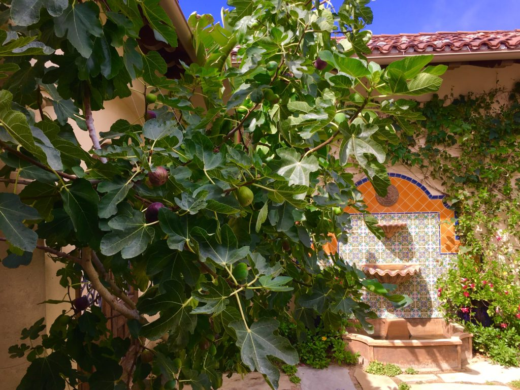 Mission Fig growing in our courtyard